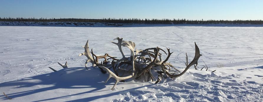 caribous bois