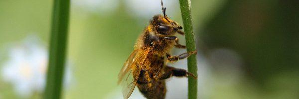 bandeau-abeille